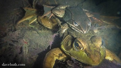 Wood Frog amplexing Green Frog - underwater in vernal pool (DaveHuth) Tags: ny underwater amphibian breeding houghton animalia greenfrog anura amphibia ranaclamitans ranidae woodfrog chordata ranasylvatica amplexus lithobates taxonomy:class=amphibia taxonomy:order=anura taxonomy:family=ranidae taxonomy:kingdom=animalia taxonomy:phylum=chordata lithobatessylvaticus taxonomy:species=sylvaticus taxonomy:binomial=lithobatessylvaticus taxonomy:genus=lithobates taxonomy:common=woodfrog gaertepond