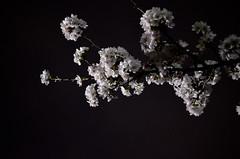a commanding atmosphere (maaco) Tags: park flowers night zeiss t 50mm spring  sakura cherryblossoms f2 carlzeiss zf makroplanar rokapark rokakouen capturenx d7000