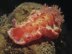 Spanish Dancer (MerMate) Tags: orange canon underwater philippines diving powershot nudibranch anilao batangas fins g12 nightdive spanishdancer seaslugs wetpixel cois nudipixel nudilovers wpdc34