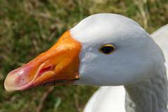 goose (DirkVandeVelde ( slowly catching up)) Tags: fauna europa europe belgium belgique belgie goose gans belgica europ