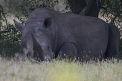 Wit Renoster / White Rhinoceros (Ceratotherium simum)(Endangered). (Hendrik/Corrie Coetzee) Tags: white wit rhinoceros ceratotherium renoster file:md5sum=6b31c0a75903e0486ef0fd247b321e95 file:sha1sig=f01d46cc5d7858b5cfb377b23a1426537b7cdc8d simumendangered