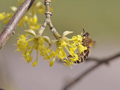 A honey bee searching for pollen and nectar in a European cornel. (Bienenwabe) Tags: bee nectar pollen honeybee cornel biene apis cornusmas cornus cornaceae honigbiene apismellifera kornelkirsche europeancornel mygearandme mygearandmepremium