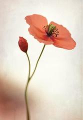 Red poppy (Funchye) Tags: red flower nikon poppy d600