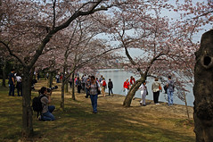 Cherry Blossoms  at the Tidal Basin (mailemae59) Tags: pink usa flower cherry dc washington spring blossom tourist basin tidal