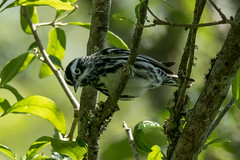 Black and White Warbler.jpg (macwalter44) Tags: winter sunset fall birds spring wildlife alabama maryland insects hummingbirds migration mammals dauphinisland warblers ftmorgan passerines cromwellvalley 2013 springmigration