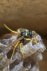 Paper Wasp Queen (McCarthy's PhotoWorks) Tags: macro nature paper insect wasp nest wildlife queen eggs hornet supermacro colony nesting laying entomology vespidae petiole polistesdominula