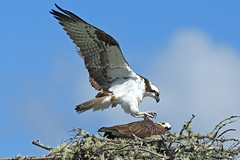 Claws Retracted     (2)_DEK6105a (DennisKirkland) Tags: morning bridge wild male nature birds female canon outdoors daylight spring nest top wildlife pair bottom breeding adults submission osprey avian approaching predators predatory breedingpair fishhawks robertsonsbridge dennisekirkland