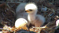 chick in the sun3 (Cornell Lab of Ornithology) Tags: nest breeding chicks cornell ithaca redtailedhawk hatchlings nestlings cornelllabofornithology 2013 cornellhawks