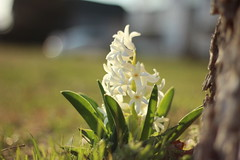 Little Plant (Pics by Abigail) Tags: lighting sunset white plant flower green nature grass canon outdoors evening spring blossoms ground flowering lovely goldenhour dainty 50mm18 whiteflowers goldenlight whiteblossoms littleplant
