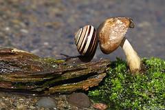 Phewww! I made it! (Vie Lipowski) Tags: nature mushroom wildlife snail toadstool detritivore atheistpond