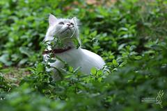 My beautiful cat (Mezaj ) Tags: 3 cat canon 5d markiii 2013  mezaj