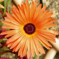 Orange (Martha-Ann48) Tags: flowers blossoms blooms garden summer bed petals stamens livingstone daisy mesembryantheums african fizzy orange maroony red