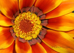 g a z a n i a (✿ Graça Vargas ✿) Tags: graçavargas ©2016graçavargasallrightsreserved flower gazania canoneos400d duetos 24022100916 mv