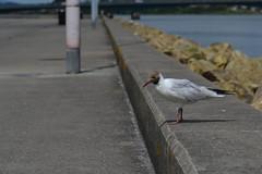Seagull (Hachimaki123) Tags: animal ave bird pjaro pajaro seagull gaviota gaviotareidora chroicocephalusridibundus