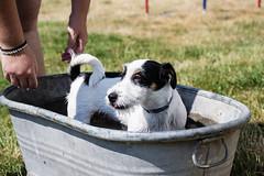 Happy Dingo (romanhrbek) Tags: jack russell sun grass d3100 water dingo nikon hot cooling happy