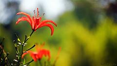 The Survivor (Bob's Digital Eye) Tags: bobsdigitaleye bokeh canon canonefs55250mmf456isstm depthoffield flicker flickr flower garden gardenflowers lily t3i plant outdoor