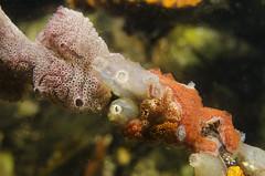 Condo housing (Arne Kuilman) Tags: zeeland duiken diving scubadiving underwater onderwater nederland netherlands macro 60mm d7000 diopter 3 closeup animals life ikelite nikon ascidians zakpijpen ascidian tunicates