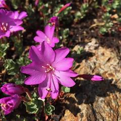 IMG_6313 (Tim Berger) Tags: carsonpass dayhike 10000ftpeaks epilobiumobcordatum rockfringe wildflower