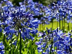 Sea of Summer blue (sunset1uk) Tags: agapanthus blueflowers blueflower wakehurstplace ardingly westsussex england summerflower summerflowers summer