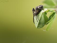 Jump? (Jordixot) Tags: macro macrophotography green dragonfly spider nature naturaleza