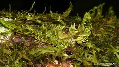 Master of Disguise, Moss Katydid, Championica sp. (Ecuador Megadiverso) Tags: championicasp amazon camouflage grasshopper katydid mimicry mossmimic nymph orthoptera rainforest tettigoniidae yanacocha andreaskay ecuador