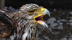 Steinadler  -  nach dem Bad (karinrogmann) Tags: steinadler goldeneagle aquilareale afterbath dopoilbagno greifvogelstationhellenthal