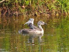 a young grebe... (quarzonero ...Aldo A...) Tags: ayounggrebe bird nature coth
