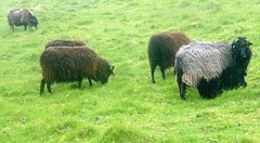 Sheep Near Stoer (Dugswell2) Tags: sheep stoer