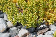 Salzmiere (Gunnar Ries zwo) Tags: salzmiere honckenyapeploides honckenya peploides strandportula seasandwort sandwort seasandplant sandplant strand strandpflanze plant pflanze
