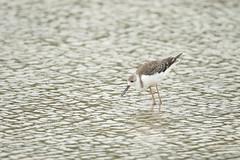 DE4A0631 (Cyril Duquenne) Tags: juvénile pêche himantopushimantopus blanche échasse