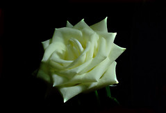 white Rose (tsuping.liu) Tags: outdoor organicpatttern rose blackbackground bright blooming white plant petal photoborder perspective passion pattern photographt purity flower