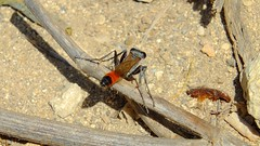 Hunting Wasp (Ammophila Sp) (Nick Dobbs) Tags: hunting wasp ammophila insect