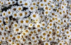 Flower-patterns-from-around-the-world--white-flowers--DSC01821 (mbgmbg) Tags: closeup desaturate flower flowers kw2flickr kwgooglewebalbum kwphotostream5 kwpotppt patternsofsmallsummerflowersfromaroundtheworld plant series seriesflowerpatternpower summerflowers takenbymarkgerstein amherst massachusetts unitedstates