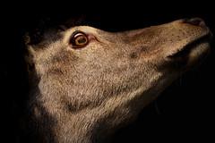 'Marc' (Jonathan Casey) Tags: deer red stag portrait black background d810 nikon 400mm f28 vr