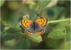 Small Copper (jenny*jones) Tags: 668a2778 smallcopper lycaenaphlaeas lycaenidae lepidoptera butterfly meadow britishcountryside westyorkshire gtbritain summer2016 butterflyindramaticdecline canon habitatloss climatechange