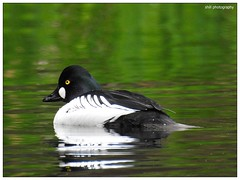 Tufted Duck (shillphotography001) Tags: duck tufted water black white shillphotography