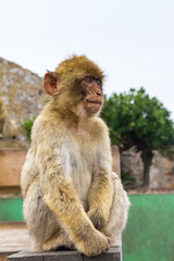 Portrait of a Barbary macaque (TimOve) Tags: vacation ferie trip summer sommer portrait therock gibraltar barbarymacaque monkey rockape furry