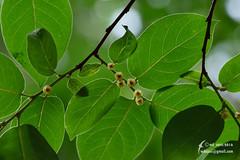 Diospyros sp.  Ebenaceae (Cheng Wenda) Tags: diospyros sp  ebenaceae china