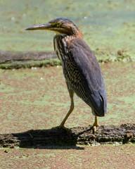 Looking Past the Surface (brev99) Tags: heron bird highqualityanimals oxleynaturecenter tulsa ngc d7100 tamron70300vc greenheron duckweed pond topazdenoise nikviveza