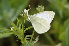 "Small white Butterfly ""Pieris rapae"" (Kay Musk) Tags: butterfly ukbutterfly smallwhite pierisrapae wildlife wild nature nikond3200 essex uk"