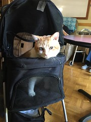 Catfe 9/23/16 #3 (Hospice Hearts) Tags: hospicehearts urbana champaign illinois il wwwhospiceheartsorg catfe catcafe cat cats foster feline felines foreverhome animalrescue rescue artscrafts crafts cupcakes seniors seniorliving adultdaycare boss cattea