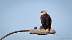American Bald Eagle- (j.strome) Tags: americanbaldeagle