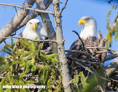 Bald Eagle pair at NJ shore, Canon 5DSR see full size (Mike Black photography) Tags: bald eagle bird nature photo photography nj new jersey shore shark river nest nesting pair yellow canon 5dsr 600mm f40 ii lens bosy usm is l big year ornithology watching birding birders fall 2016 mike black