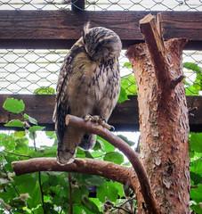 IMG_5283 (jaglazier) Tags: 2016 91416 animals bielefeld bielefeldzoo birds copyright2016jamesaglazier germany owls september teutoburg teutoburgforest teutoburgerwald zoos parks nordrheinwestfalen