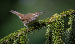 Bewick's Wren (Wes Aslin) Tags: bewickswren avian abbotsford britishcolumbia canada