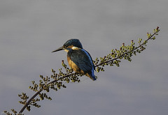 Kingfisher13 (lorrainejubb) Tags: kingfisher oldmoor rspb diving catchingfish
