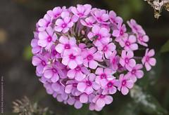Still  Blooming (Rick & Bart) Tags: flower flora nature bloom speelhof sinttruiden rickvink rickbart canon eos70d pink