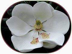 Magnolia magnifica (© the-best-is-yet-to-come ©) Tags: cubism flickrdiamond flowersmacroworld blinkagain