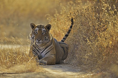 ADS_210 (dickysingh) Tags: wild india color nature animal horizontal forest cat mammal track path wildlife tiger bigcat vegetation predator ranthambore bengaltiger drygrass yellowgrass ranthambhorenationalpark pantheratigristigris diamondclassphotographer flickrdiamond