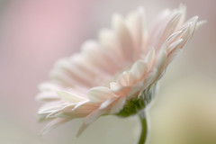 41 of 365 Pale Pink (linlaw39) Tags: pink winter light stilllife blur flower macro nature oneaday closeup petals bokeh daisy softfocus 365 day41 105mm gerberadaisy lindal aperturepriority softgreen 2013 365project canoneos500d day41365 insidework 105mmprimelens 3652013 2013yip february2013 365the2013edition 10022013 10feb13